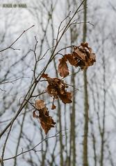 """""""Eichenlaub"""" (joergpeterjunk) Tags: leipzig gohlisnord outdoor bahndamm pflanze baum eiche eichenlaub canoneos50d canonefs1785mmf456isusm"""