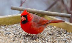 Fat Cardinal (John Kocijanski) Tags: cardinal bird animal wildlife nature red canon70300mmllens canon7d bokeh