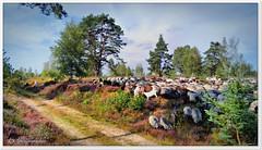 Unverhofft kommt oft... (Don111 Spangemacher) Tags: heidschnucken heidekreis himmel heide heideblüte hochsommer herde reisen romantik tiere schafe landschaft kulturlandschaft wolken wege pflanzen park niedersachsen natur naturschutzgebiet norddeutschland gras rödersheide