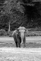 Elephant-2 (Lauro Meneghel) Tags: 2018 600d asia bn bw canon elephant thailand travel animals ef24105f4l elefante mammals natura nature park thai tailandia trip southeastasia exploring adventure world culture discover vibes sensations stunning emotions