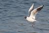 Black-headed Gull  - summer plumage (steve happ) Tags: azemmour blackheadedgull chroicocephalusridibundus morocco