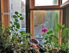 Geranium (ironicdream) Tags: geranium flower plants window pink canon view autumn fall roomwithaview smileonsaturday