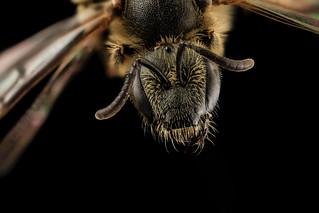 Lasioglossum albipes, f, face, france_2014-06-04-10.29