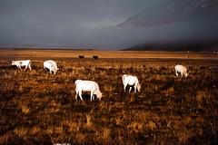 Pascolo (DarioMarulli) Tags: laquila landscape campo felice abruzzo mucche mucca cow nikon nikonclubit natura nature nationalgeographic nebbia nuvola nuvole n