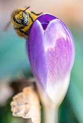 NYC Bees Have No Fear of People (hilarybachelder) Tags: bee crocus flower bud macro a7rii bokeh dof fullframe frame poetic pov petals pointofview viewpoint focalpoint composition goldenhour golden goldenrectangle insect purple vantagepoint pollen focus flowers green light mirrorless magical manhattan manhattanvalley nyc ngc negativespace nature nycparks park peaceful plants prime quiet tranquil uws upperwestside view yellow riversidepark riversidedrive 50mm sony50mm28macro sony50mm closeup