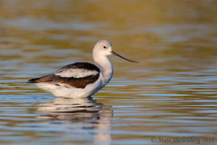 American Avocet (Matt Shellenberg) Tags: american avocet americanavocet arizona gilbert water ranch riparian preserve matt shellenberg