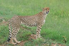 Male Cheetah (Gordon Magee) Tags: africa kenya cheetahacinonyxjubatus masaimara