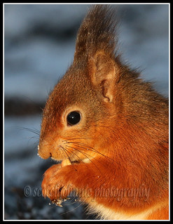 IMG_0071 Red Squirrel
