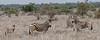Plains Zebra - Zèbre des plaines (happybirds.ch) Tags: afriquedusud africa south kruger national park knp wild sauvage nature happybirds mammal mammifère pano panorama zebra zebre baby young jeune bebe landscape paysage plains plaines ngc