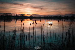 A beutiful sunset and the swan's dance (Lazaros E) Tags: pond reeds colorful landscape sunset swan bird water dance outdoor speedlights reflection orange clouds nikonflickraward
