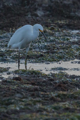 IMG_2882 (armadil) Tags: mavericks beach beaches californiabeaches bird birds egret snowyegret