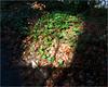 Day 016 Parallelogram (Dominic@Caterham) Tags: parallelogram light winter bush shade