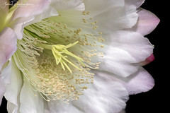 Cereus forbesii (Gabriel Paladino Photography) Tags: cereus forbesii plantae magnoliophyta magnoliopsida caryophyllidae caryophyllales cactaceae cactoideae cereeae validus piptanthocereus night bloom natural nature vegetal flower flor blooming crasa planta plant suculenta cactus cacti succullent nightblooming scientific classification angiosperms eudicots uruguay flora macrofotografía floración macro closeup canon 77d 9000d venus laowa 60mm 2x ultramacro