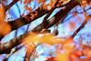 小石川植物園 03 (sunuq) Tags: tokyo japan 日本 東京 canon eos 5dsr ef70200mm llens 紅葉 小石川植物園 tree park コゲラ