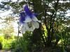 CKuchem-5827 (christine_kuchem) Tags: akelei blüte blüten garten hummel insekten nahrung natur naturgarten nektar pflanze privatgarten schatten schattengarten selbstaussaat sommer wildpflanze blau lila naturnah natürlich wild zweifarbig