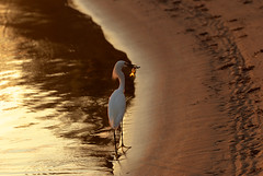 Good bite (Nino La Corte) Tags: water sunset beach nature bird ocean lake sand reflection outdoors sea dawn seashore travel traveling visiting river sun landscape wave mexico sunrise
