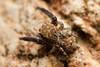 Neaetha membrosa ♂ (Jerome Picard) Tags: salticidae saltique spider macro mpe maineetloire france fr canon arachnid arthropod arthropoda araignée neaethamembrosa rarely science scientist salticidé