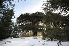 (Marwanhaddad) Tags: cedars snow forest lebanon tree trees