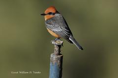Vermilion Flycatcher (VankoVision) Tags: vankovision nature birds arizona vermilion flycatcher
