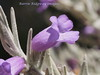 Eremophila nivea Gubburra Bells, anbg  PB010684 (BRDR images) Tags: eremophilanivea australianflora australia canberra australiancapitalterritory flowerphotography photoecology australiannationalbotanicgardens