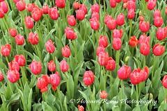 Longwood Gardens Spring 2017 (20) (Framemaker 2014) Tags: longwood gardens kennett square pennsylvania tulips united states america