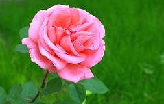 Rose im Grün,, würde ich gerne mal wieder sehen ;-) (baerchen57) Tags: blume natur farben flower power rose pink blümchen hallesaale licht
