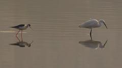 Stilt & Egret