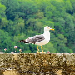 Seagull (Geert Van Keymolen) Tags: bretagne d5200 dinan france frankreich frankrijk latoursaintecatherine nikon nikond5200 bird gull meeuw mouette möwe natur nature natuur oiseau outdoor vogel fr