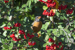 Red/Robin (opheliosnaps) Tags: american robin turdus migratorius december 2017 wild nature outdoors outside trail berry berries red bright green leaves bush orange black eating feeding eat feed sweet
