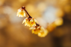 * (t*tomorrow) Tags: canon eos 5d2 85mm bbl flower 蝋梅