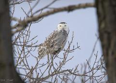Snowy Owl (Nick Scobel) Tags: snowy snow winter owl bubo scandiacus michigan migration irruption year raptor bird prey claws talons wings pattern flight take off arctic