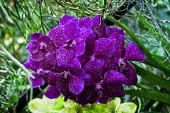 Tropical Wonder (MrBlueSky*) Tags: orchid flower petal plant garden horticulture nature outdoor colour kewgardens royalbotanicgardens london pentax pentaxart pentaxlife pentaxk1 pentaxawards pentaxflickraward aficionados