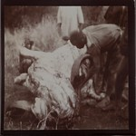 An African buffalo being skinned. ; Photograph 2. thumbnail