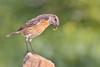 Qué rico! (sergio estevez) Tags: aves bokeh color desenfoque fauna gusano insecto luz nikonafs300mmf4 pajaro posadero parquedelcentenario tarabilla tenebrio sergioestevez