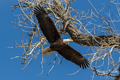 Bald Eagle flyby - 6 of 6