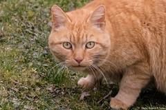 Même pas peur _ (Elyane11) Tags: carnivora carnivores chatdomestique chatharet chatàpoilscourts felidae felidés feliscatus feralcat jardin mammalia mammals mammifère cluses