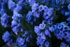 Sky Pilot in the Mt. Holy Cross Wilderness (donovancolegrove) Tags: skypilot summer colorado alpine purple altitude 2x3 flower wildflower bloom yellow valley mountain