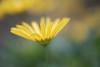 éclat de jaune (christophe.laigle) Tags: christophelaigle fleur macro nature flower fuji jaune xpro2 xf60mm yellow
