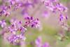 Last Summer (paulapics2) Tags: plant summer pink colour depthoffield bokeh nature outdoors canoneos5dmarkiii sigma105mmf28exdgoshsmmacro 7dwf thalictrum