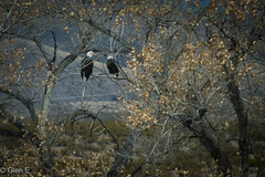 Bosque del Apache - Bald Eagles (nebulous 1) Tags: bosquedelapache newmexico baldeagles birds fauna trees nikon nebuluous1 glene nature landscape