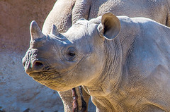 2018-03-04 Sunday Morning at the St. Louis Zoo - 08 (kocojim) Tags: rhino kocojim missouri forestpark zoo family stlouis animals mo unitedstates us