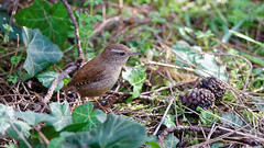 a Wren on the ground (2/2) (Franck Zumella) Tags: bird oiseau wren troglodyte mignon small little petit nature wildlife vie sauvage wood bois forest foret animal wild king roi light lumiere winter hiver colors color couleur red rouge blue bleu green vert