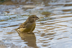 Grote kruisbek 26-02-2018-358 (Edwin010) Tags: 2018 grotekruisbek loxiapytyopsittacus parrotcrossbill zeist februari dutchbirding edwin010 netherlands nature outside bird vogel water drinking female ngc nationalgeographic animalplanet animal planet staatsbosbeheer natuurmonumenten