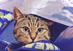 Stoned (evakatharina12) Tags: cat pet tabby face bag indoor animal