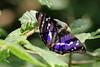 MALE PURPLE EMPEROR 0617 (gazza294) Tags: purpleemperor butterfly butterflies butterflyconservation flicker flickr flckr flkr gazza294 garymargetts