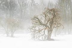 Winterwonderland (jandmpianezzo) Tags: winter switzerland bolle magadino nebbia fog albero neve bianco ticino wonderland alberi natura nature bosco outdoor inverno luce landscape lagomaggiore