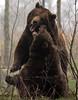 Brown bear Hoenderdaell BB2A4104 (j.a.kok) Tags: beer bear bruinebeer brownbear hoenderdaell ursus mammal animal omnivore zoogdier dier predator
