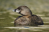 Picurio / Pied-billed grebe / Podilymbus podiceps antarcticus (Javier Gross) Tags: avesdechile chile aves ave bird birds birding birdwatching nature wildlife fauna faunadechile wildbird animal animals wildanimal wildanimals naturephotography piedbilledgrebe