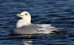 Herring Gull (kearneyjoe) Tags: herring gull