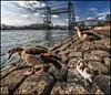 Hefganzen (glessew) Tags: rotterdam geese ganzen gänse hef hefbrug koningshaven bridge brug pont brücke birds vogels oiseaux basalt noordereiland nederland netherlands